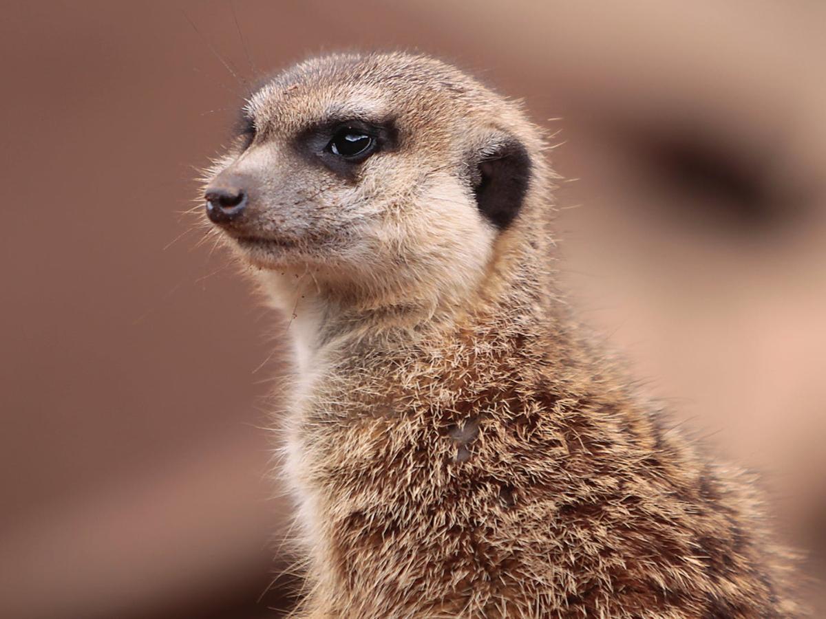 La mangusta suricato africano