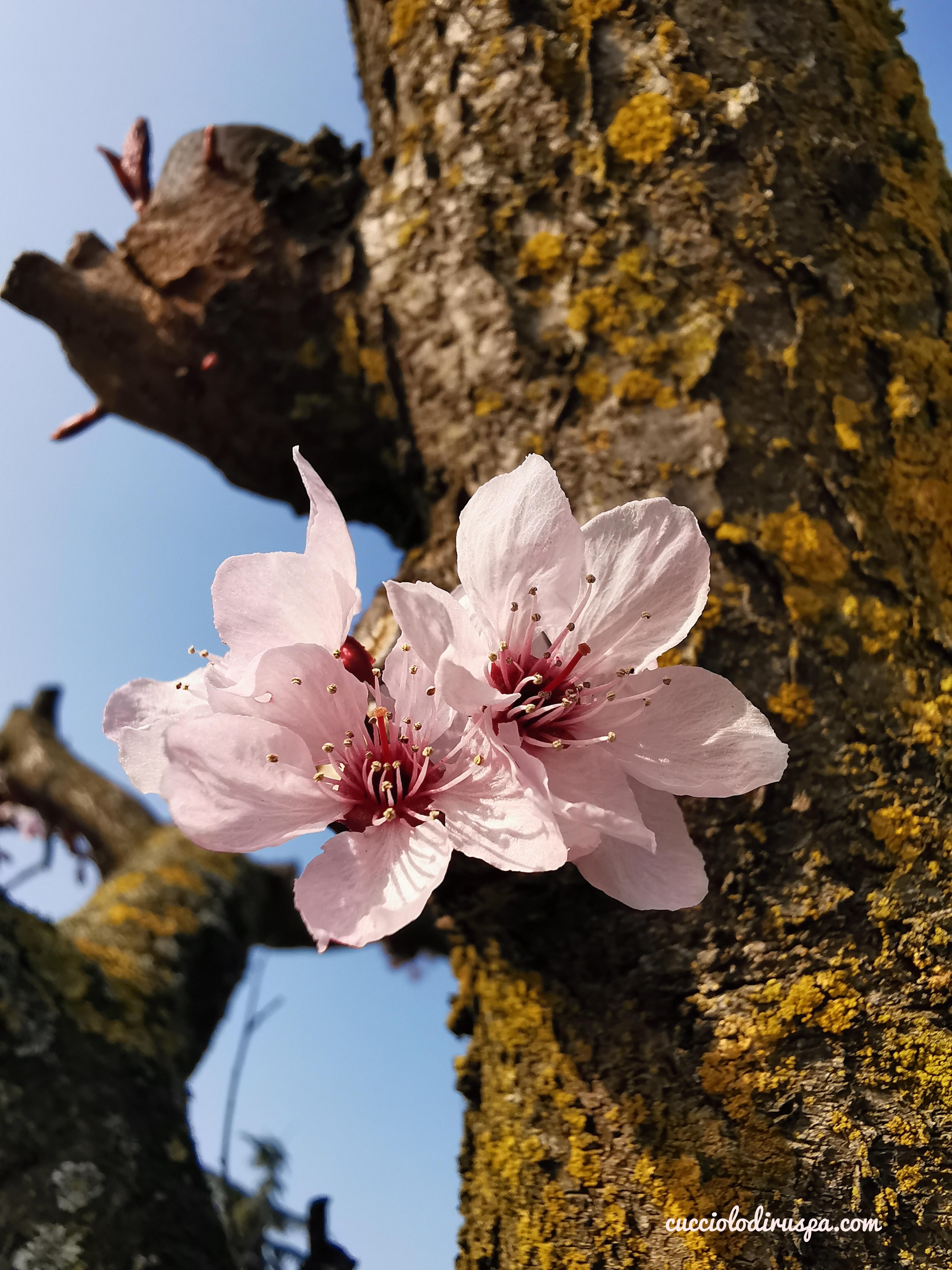 fiore rosa chiaro