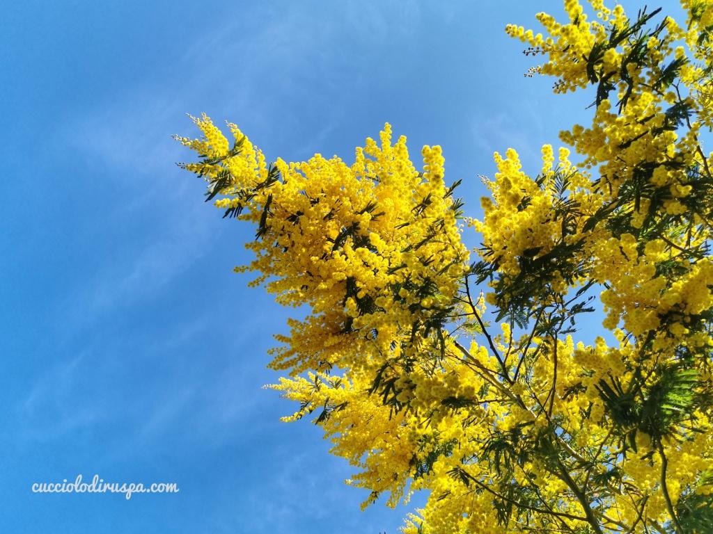 mimose e cielo blu