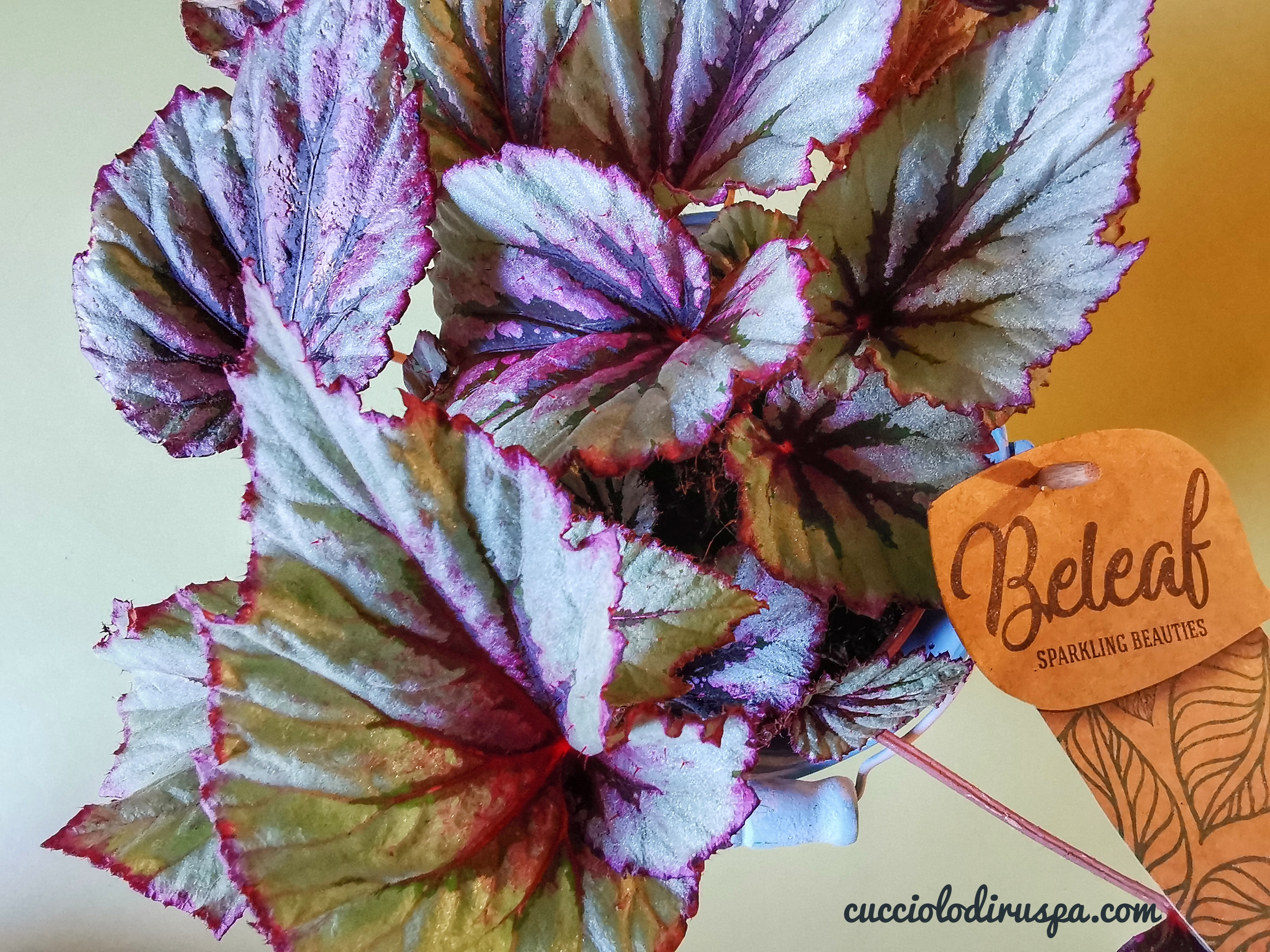 begonia e foglie